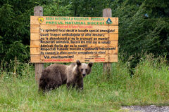 Wild bear in front of a wood sign Royalty Free Stock Photos