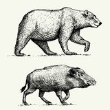 Wild Bear grizzly and boar or pig engraved hand drawn in old sketch style, vintage animals Stock Photos