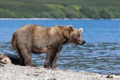 Wild brown bear grizzly stands with a cute little bear cub on the lake. Kuril lake