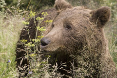 Wild Bear In The Forest Royalty Free Stock Photo