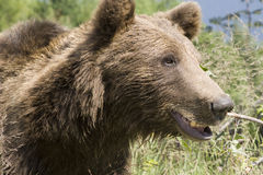 Wild Bear In The Forest Royalty Free Stock Photos