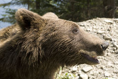 Wild Bear In The Forest Royalty Free Stock Photography