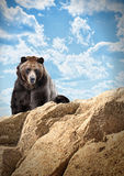 Wild Bear Mammal on Cliff with Clouds Royalty Free Stock Photo
