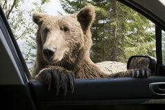 Wild Bear On My Car Window Stock Photo