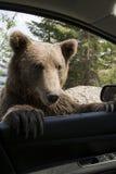 Wild Bear On My Car Window Royalty Free Stock Photos