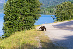 Wild bear on a road Stock Photography