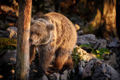 Brown bear checking out scent markings Stock Photo