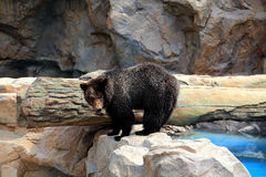 The wild bear in Zoo Stock Photography