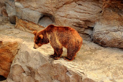 The wild bear in Zoo Royalty Free Stock Image