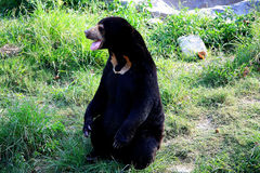 The wild bear in Zoo Stock Images