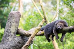 Wild bearcat sleeping Royalty Free Stock Photos
