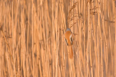 Perfect camouflage. Wild bearded reedling hanging on to a reed, perfectly camouflaging itself Stock Photo