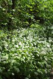 Wild bears garlic Allium ursinum in flower in the riparian forest in Leipzig, Germany Stock Photo