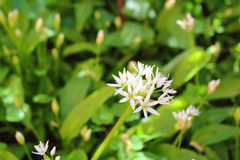 Wild bears garlic Allium ursinum in flower in the riparian forest in Leipzig, Germany. Detail stock photo