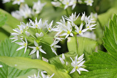 Wild bears garlic flowers at springtime, edible culinary herb Stock Photo