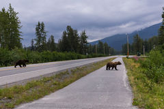 Wild bears in urban area Stock Images