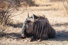Wild beast Royalty Free Stock Photography