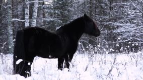 Wild beautiful black stallion stands in the snow, forest in the background. The steam from the breath. stock video