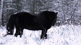 Wild beautiful black stallion stands in the snow, forest in the background. The steam from the breath. stock footage