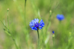 Wild beautiful blue wildflowers cornflowers in the green meadow, floral nature summer background Stock Photo