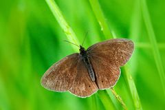 Wild beautiful butterfly, Aphantopus hyperantus, Ringlet, sitting on the green leaves, insect in the nature habitat, spring in the. Meadow Royalty Free Stock Photo