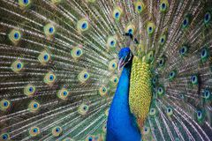 Wild beautiful colorful feathers of a peacock close-up. Patern stock image
