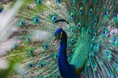 Wild beautiful colorful feathers of a peacock close-up. Patern royalty free stock image