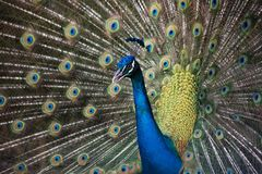 Wild beautiful colorful feathers of a peacock close-up. Patern royalty free stock photo