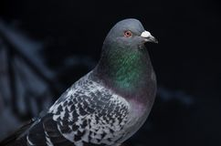 Wild beautiful dove close-up on a dark background. The speckled wings, the head is gray with red eyes and a gorgeous neck with. Iridescent plumage from gray to stock images