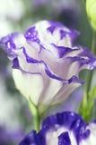 Wild beautiful flower after rain closeup Royalty Free Stock Image