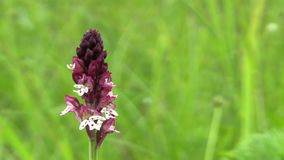 Wild beautiful orchid Orchis ustulata, detail, endangered species, the UNESCO Bile Karpaty stock video footage