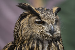Wild, Beautiful owl with plumage of earthy colors, has an intens Royalty Free Stock Image