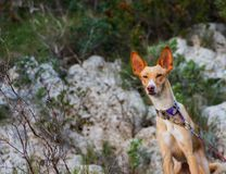 Wild podenco bronw dog in the mountain royalty free stock image