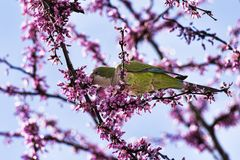 Wild beautiful ring-necked parakeet parrot eats the pink flowers of the Judas tree royalty free stock photography