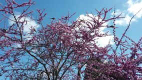 Wild beautiful ring-necked parakeet parrots eating  the pink flowers of the Judas tree. In a beautiful spring day stock video