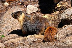 Wild beautiful yellow-bellied marmot in Yosemite National Park Stock Images