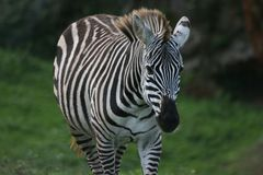 Zebra looking to the camera stock photography