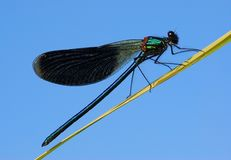 Wild beauty. Dragonfly - the model, on a background of the dark blue sky Royalty Free Stock Images