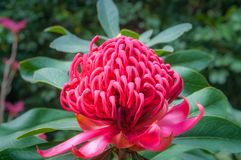 Wild Beauty - Watarah Flower. Wild beautiful waratah flower on a dappled bokeh background at Mount Tomah Botanic Garden in the Blue Mountains, New South Wales Stock Photo