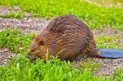 Wild Beaver Royalty Free Stock Photography