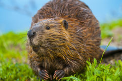 Wild Beaver. Close-up shot of a wild beaver eating a grass by the lake in Yellowstone Royalty Free Stock Photo