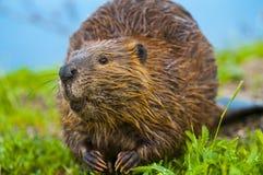 Wild Beaver royalty free stock photo