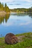 Wild Beaver Stock Photography