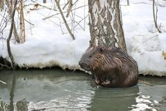 A wild beaver in a city park climbed into a puddle with warm sewage.  royalty free stock photos