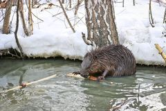 A wild beaver in a city park got into a puddle with drains and nibble the bark from the branches stock image