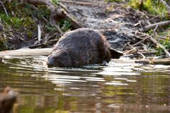 Europian Beaver male who feeds at evening. Wild beaver in a small lake in deep forest inside royalty free stock photo