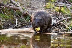 Europian Beaver male who feeds at evening. Wild beaver in a small lake in deep forest inside royalty free stock photography