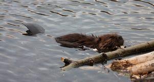 Wild beavers Royalty Free Stock Photo