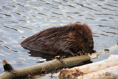 Wild beavers Stock Images