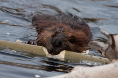 Wild beavers Royalty Free Stock Photo